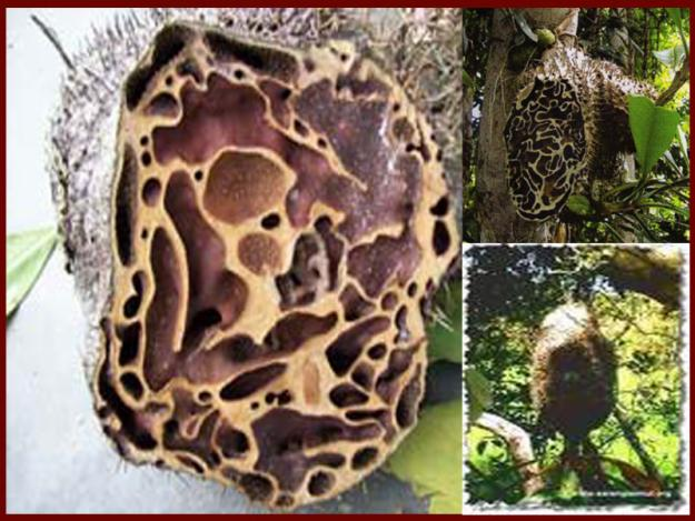 Obat Herbal Ling Tumes terbuat dari sarang semut papua asli