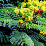 tanaman obat secang