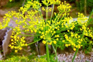 Herbal Tanaman Adas