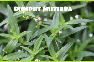 Manfaat Tanaman Rumput Mutiata